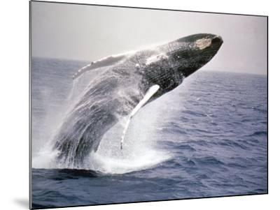 Humpback Whale-John Dominis-Mounted Photographic Print