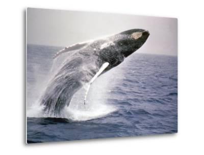 Humpback Whale-John Dominis-Metal Print