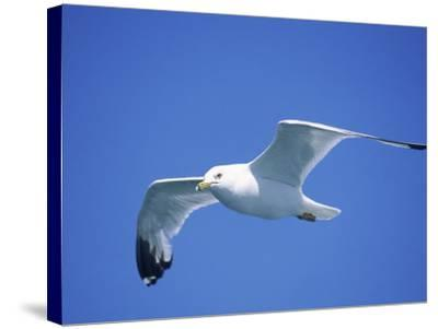 Seagull in Sky-Jim Schwabel-Stretched Canvas Print