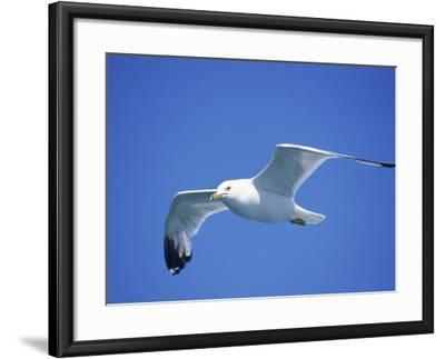 Seagull in Sky-Jim Schwabel-Framed Photographic Print