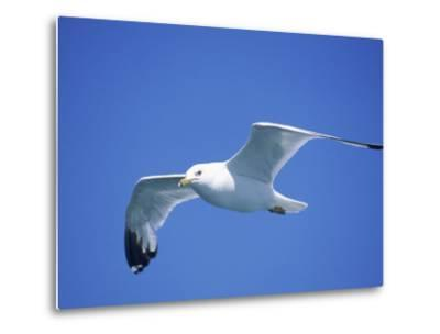 Seagull in Sky-Jim Schwabel-Metal Print