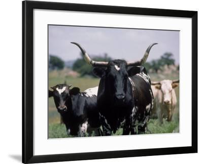 Texas Longhorn Cattle on Wildlife Refuge, OK-Allen Russell-Framed Photographic Print