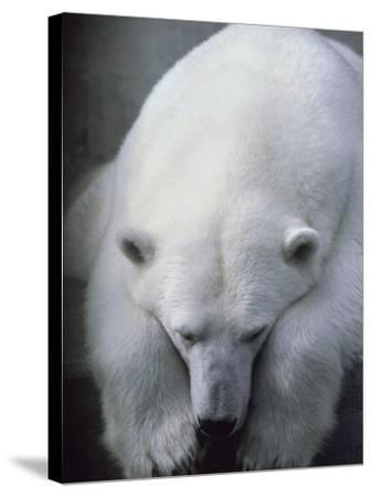 Polar Bear Lying Down-Stuart Westmorland-Stretched Canvas Print