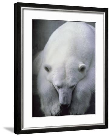 Polar Bear Lying Down-Stuart Westmorland-Framed Photographic Print