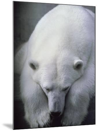 Polar Bear Lying Down-Stuart Westmorland-Mounted Photographic Print