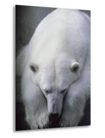 Polar Bear Lying Down-Stuart Westmorland-Metal Print