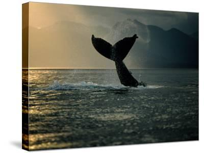 Humpback Whale Tail at Sunset-Stuart Westmorland-Stretched Canvas Print