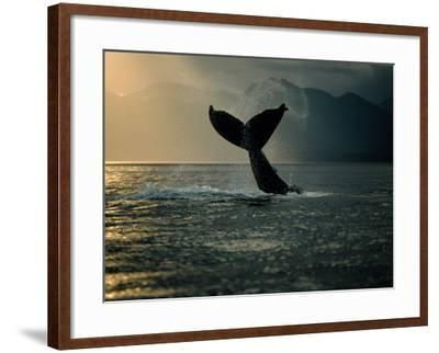 Humpback Whale Tail at Sunset-Stuart Westmorland-Framed Photographic Print