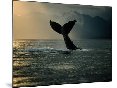 Humpback Whale Tail at Sunset-Stuart Westmorland-Mounted Photographic Print