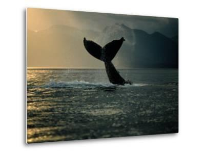 Humpback Whale Tail at Sunset-Stuart Westmorland-Metal Print