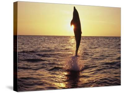 Dolphin Jumping from Water-Stuart Westmorland-Stretched Canvas Print