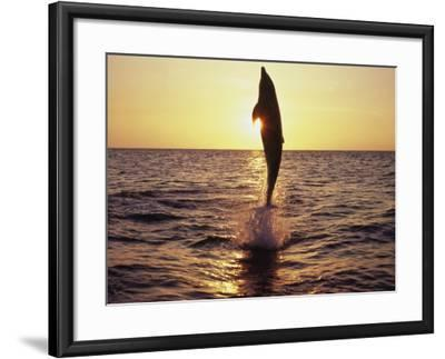 Dolphin Jumping from Water-Stuart Westmorland-Framed Photographic Print