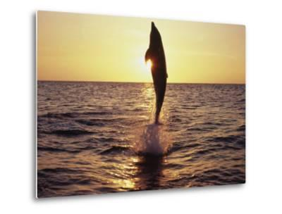 Dolphin Jumping from Water-Stuart Westmorland-Metal Print