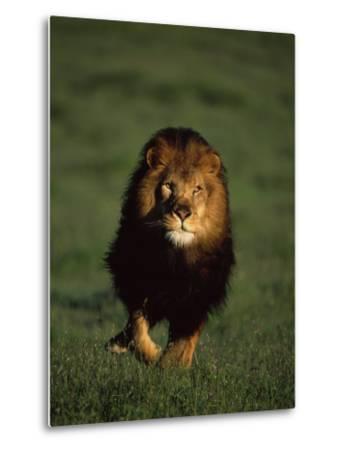 African Lion Walking in Grass-Don Grall-Metal Print