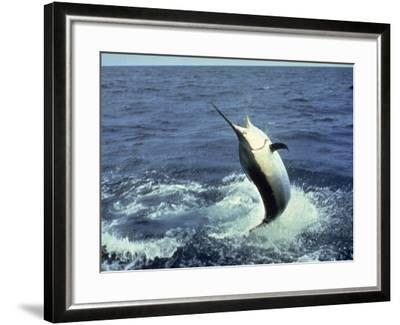 Swordfish Leaping in the Ocean-Katie Deits-Framed Photographic Print