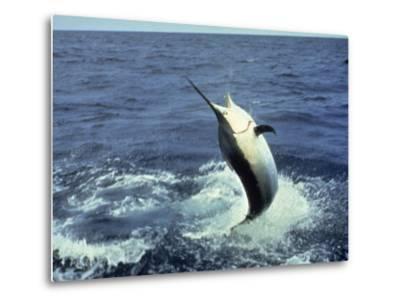 Swordfish Leaping in the Ocean-Katie Deits-Metal Print