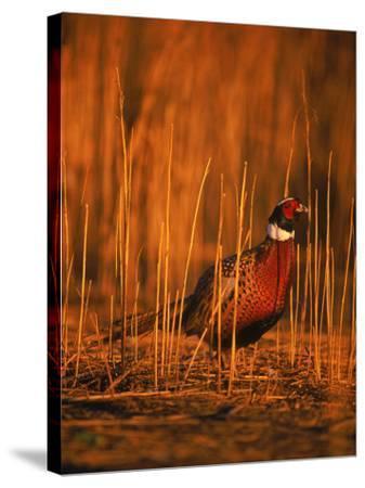 Ringneck Pheasant-D^ Robert Franz-Stretched Canvas Print