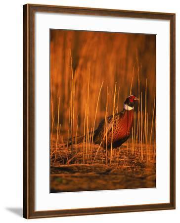 Ringneck Pheasant-D^ Robert Franz-Framed Photographic Print