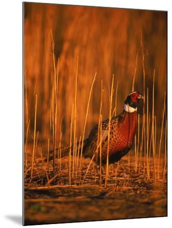 Ringneck Pheasant-D^ Robert Franz-Mounted Photographic Print