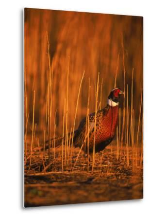 Ringneck Pheasant-D^ Robert Franz-Metal Print
