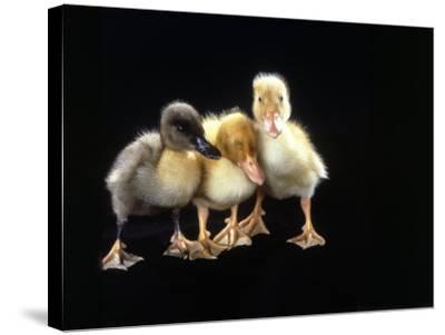 Three Baby Ducks Standing-Martin Folb-Stretched Canvas Print