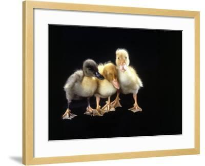 Three Baby Ducks Standing-Martin Folb-Framed Photographic Print