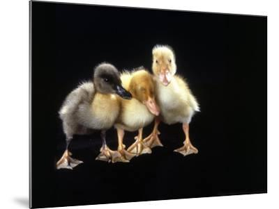 Three Baby Ducks Standing-Martin Folb-Mounted Photographic Print
