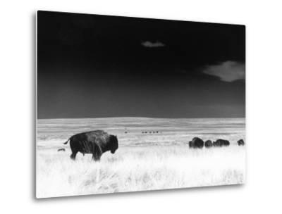 Buffalo Grazing, Buffalo Gap Nat Grassland, SD-John Glembin-Metal Print