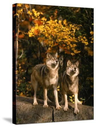 Two Alert Timber Wolves Standing on a Rock-Don Grall-Stretched Canvas Print