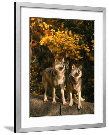 Two Alert Timber Wolves Standing on a Rock-Don Grall-Framed Photographic Print