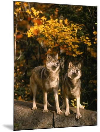 Two Alert Timber Wolves Standing on a Rock-Don Grall-Mounted Photographic Print