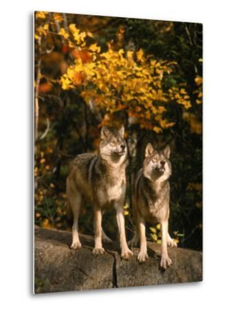 Two Alert Timber Wolves Standing on a Rock-Don Grall-Metal Print