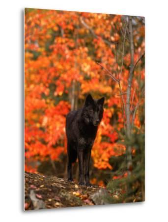 Black Timber Wolf in Autumn Forest-Don Grall-Metal Print
