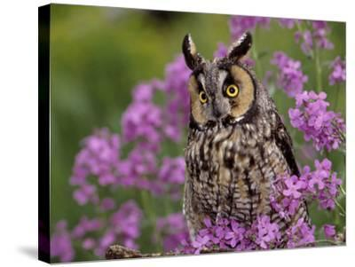 Long Eared Owl-Russell Burden-Stretched Canvas Print