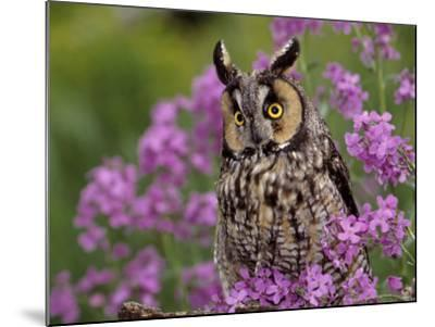 Long Eared Owl-Russell Burden-Mounted Photographic Print