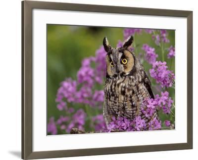 Long Eared Owl-Russell Burden-Framed Photographic Print