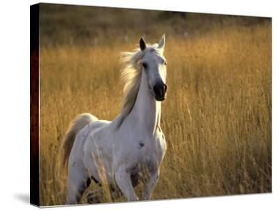 Horse Galloping, Half Moon Bay, California-Jerry Koontz-Stretched Canvas Print