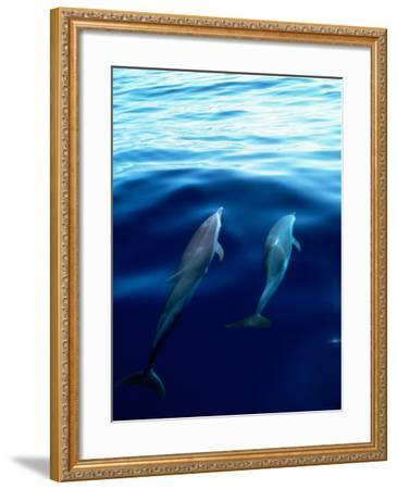Overview of Dolphins Swimming Underwater-Stuart Westmorland-Framed Photographic Print