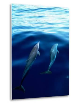 Overview of Dolphins Swimming Underwater-Stuart Westmorland-Metal Print
