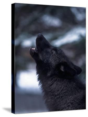 Wolf Howling, Canis Lupus, MN-D^ Robert Franz-Stretched Canvas Print