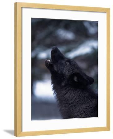 Wolf Howling, Canis Lupus, MN-D^ Robert Franz-Framed Photographic Print