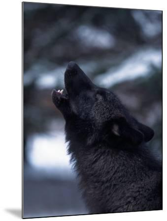Wolf Howling, Canis Lupus, MN-D^ Robert Franz-Mounted Photographic Print
