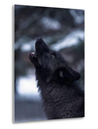 Wolf Howling, Canis Lupus, MN-D^ Robert Franz-Metal Print