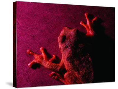 Costa Rican Tree Frog-Dan Gair-Stretched Canvas Print