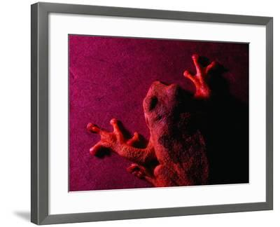 Costa Rican Tree Frog-Dan Gair-Framed Photographic Print