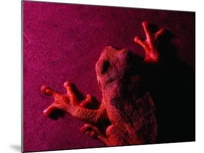 Costa Rican Tree Frog-Dan Gair-Mounted Photographic Print