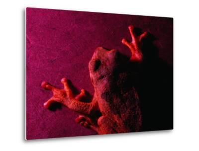 Costa Rican Tree Frog-Dan Gair-Metal Print