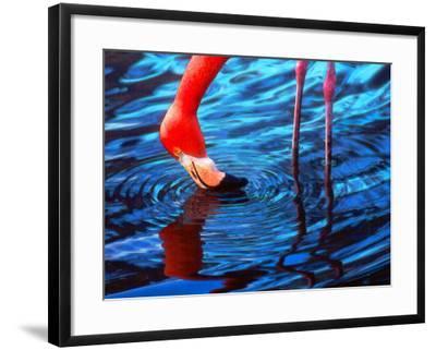 Flamingo, Florida-Pat Canova-Framed Photographic Print