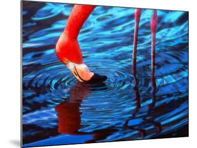 Flamingo, Florida-Pat Canova-Mounted Photographic Print