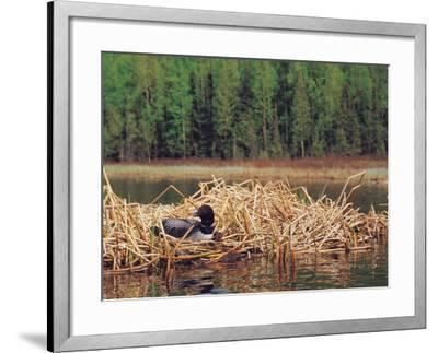 Loon on Nest in Water-Mike Robinson-Framed Photographic Print